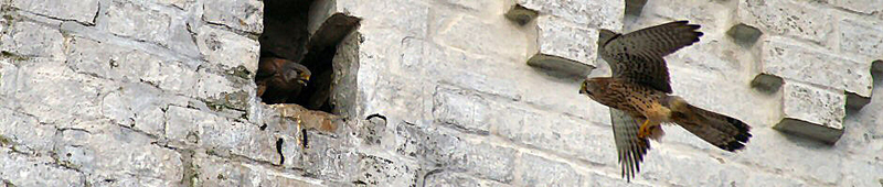 Tårnfalkeparret i Nr. Tranders Kirke
